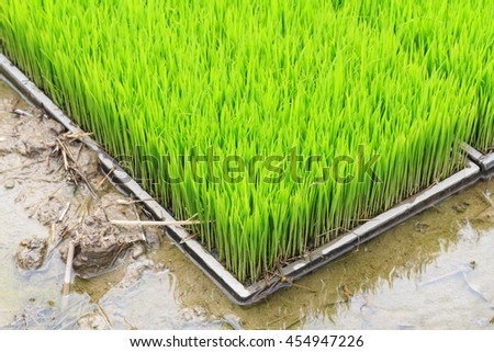 Young rice sprout in cultivated area, Thailand