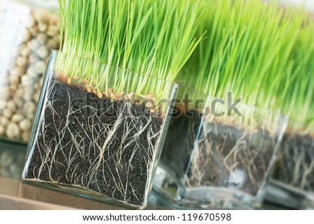 Young rice sprout in the box ready to growing in the rice field