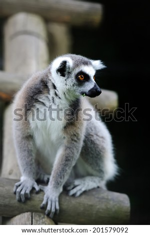 Young Ring-tailed Lemur (Lemur catta) - stock photo