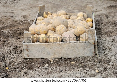 Young ripe potatoes in a wooden crate on the ground - stock photo