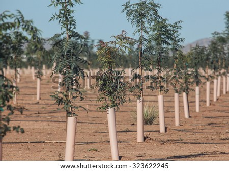 Young rootstock pistachio nut tree in upright pipe outdoors/Young Leaves on New Rootstock Pistachio Nut Tree in Upright Pipe of Orchard/Green young pistachio nut tree growing in pipe outside