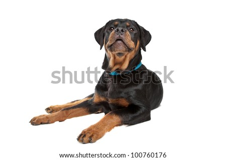 Young rottweiler in front of a white background - stock photo