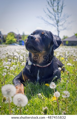Young rottweiler pup sitting on grass field with attentive expression