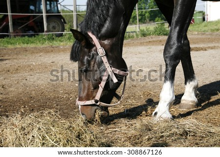 Young saddle horse eating hay at a farm  - stock photo