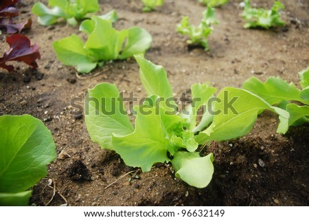 Young salad plants growing in organic soil.