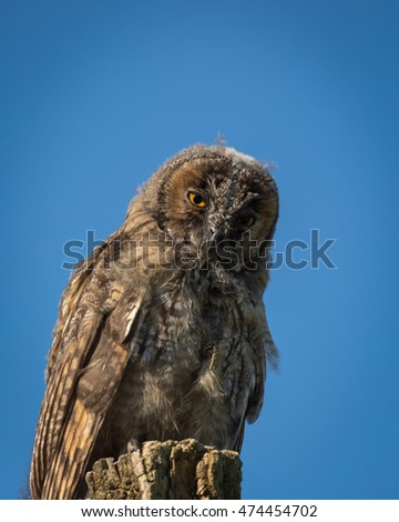 Young Scops owl in the morning sunlight Balagne region of Corsica sitting on top of an old tree stump and looking directly into camera with big yellow eyes and blue sky behind