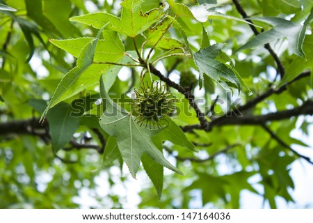 Young seed pod hanging from a sycamore tree - stock photo