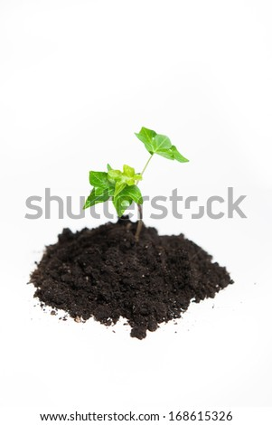 Young seedling growing in a soil,isolated on white