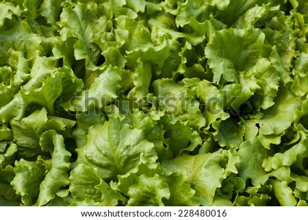 Young seedlings of lettuce in the field - stock photo