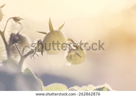 Young seedlings of tomato with small tomatoes - stock photo
