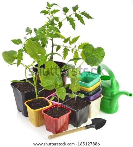 Young Seedlings Sprouts and colored pots isolated on white background  - stock photo