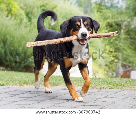 Young Sennenhund, playing with long branch, playfull look in eyes - stock photo