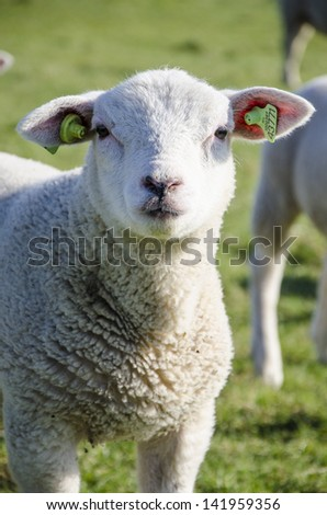 young sheep - stock photo