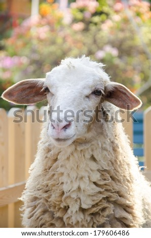 Young sheep in the farm - stock photo