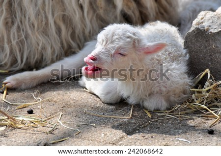 young sheep on the floor - stock photo