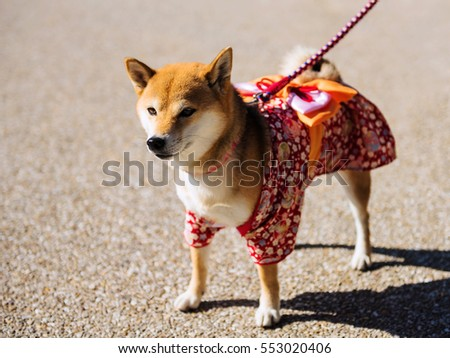 Young Shiba Inu Puppy Dog with cute Traditional Japanese dress