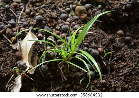 Young Shoot Grass Plant Earth Soil Alone