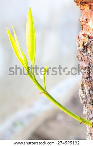 young shoots of Sapodilla is separated from the stems. - stock photo