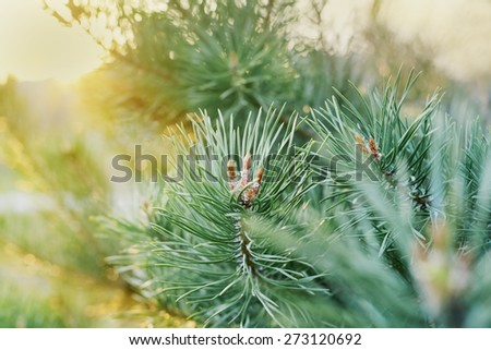 young shoots of the pine branches in the golden sunset light, beautiful landscape of nature - stock photo