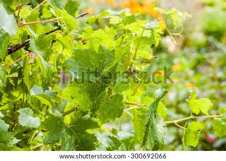 Young shoots of vine with lush foliage wet from rain drops isolated on blurred green background of garden. - stock photo