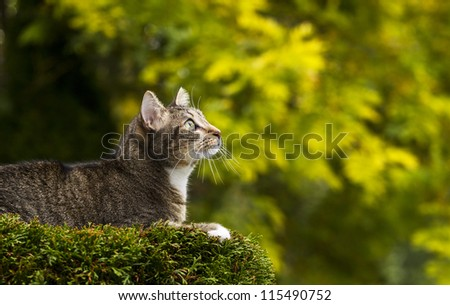 Young short haired grey tabby cat on top of tree with season fall trees in background - stock photo
