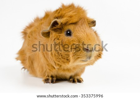 young short haired peruvian guinea pig - stock photo