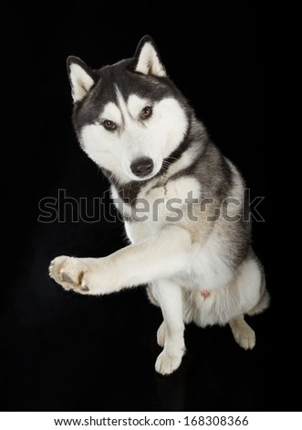 Young Siberian Husky dog on black background - stock photo