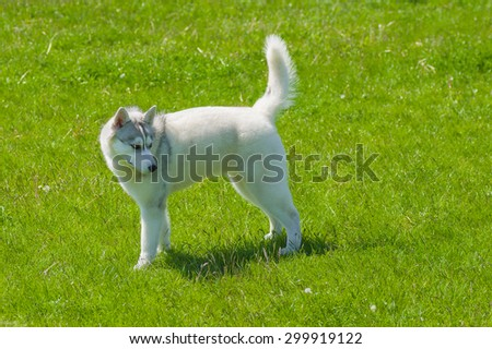 Young siberian husky on a green grass - side view - stock photo