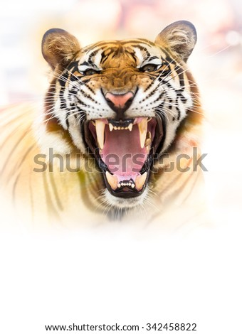 Young siberian tiger in action of growl - stock photo