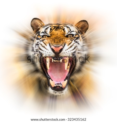 Young siberian tiger in action of growl on motion blur background - stock photo