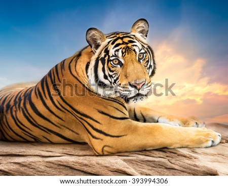 Young siberian tiger in the act of relax on stone and sunset background - stock photo