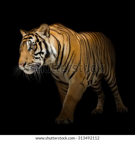 Young siberian tiger on black background in action of walking out from the darkness - stock photo