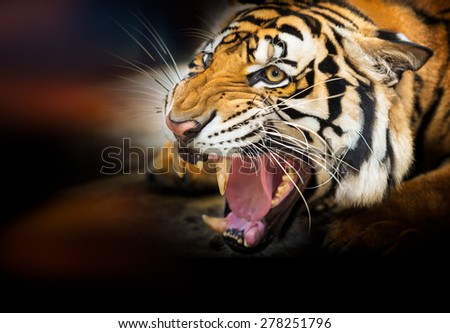 Young siberian tiger on dark background in action of growl - stock photo