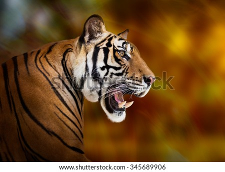 Young siberian tiger on dark red background - stock photo