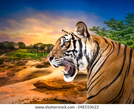 Young siberian tiger on sunset background - stock photo