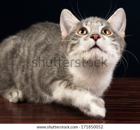 Young Silver Tabby Kitten Cat Looking Up - stock photo