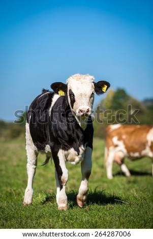 Young Simmental - stock photo