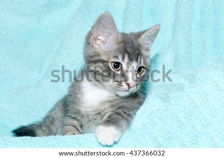 young six week old black and white tabby kitten sitting laying on an aqua teal colored blanket resting watching looking to the right of the frame - stock photo