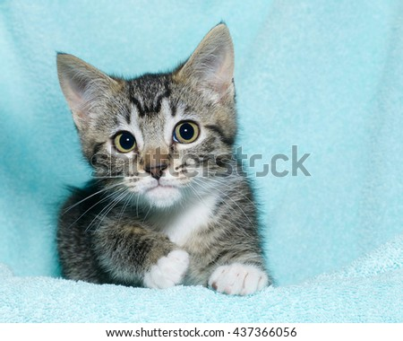 young six week old black and white tabby kitten sitting laying on an aqua teal colored blanket resting watching looking forward with concerned perplexed expression, hesitant - stock photo