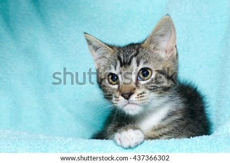 young six week old black and white tabby kitten sitting laying on an aqua teal colored blanket resting watching looking to the left of the frame - stock photo