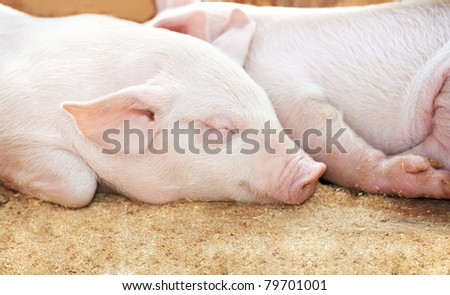 young sleeping pig after sucking in shed - stock photo