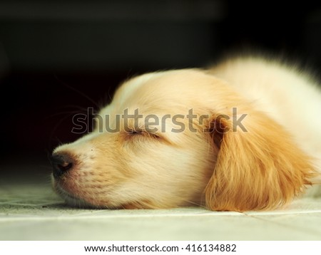 young small cute lovely mini size crossbreed puppy dog from two or more toys purebred white pastel beige colour long fur and ears black eyes playing surrounding with home environment bokeh background - stock photo