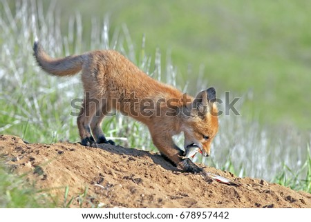 young small red Fox, furry little Fox is walking on a green meadow