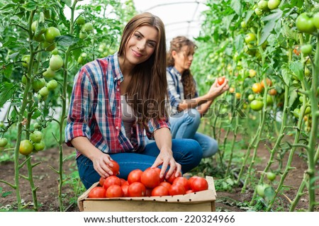 Young smiling agriculture woman worker in front and colleague in back and a crate of tomatoes in the front, working,harvesting tomatoes in greenhouse. - stock photo