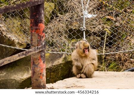Young snow monkey quietly sitting on path edge - Jigokudani Yaen-Koen, Japan - stock photo