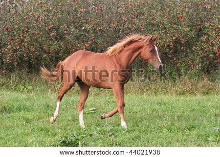 Young sorrel horse running on meadow