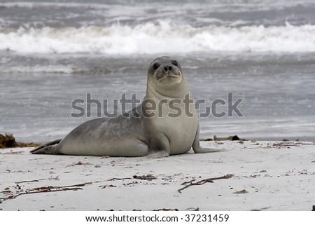 Young southern elephant seal (Mirounga leonina) resting on the beach on Seal Lion Island, Falkland Islands - stock photo