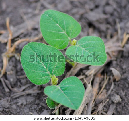 Young Soy bean plant in field early spring morning shallow depth - stock photo