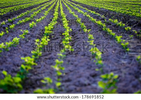 Young soybean growing on field Shallow depth of field - stock photo
