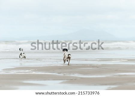 Young Spaniels having fun on the beach - stock photo